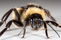 Male Bumble Bee