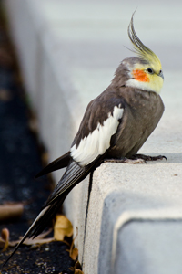 Cockatiel, Nymphicus hollandicus