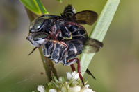 Coelioxys mating