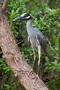 Yellow Crowned Night Heron,Nyctanassa violacea