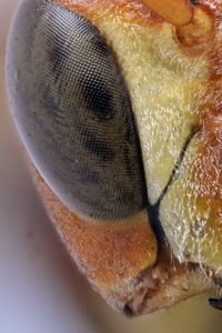 Paper Wasp Eye